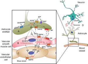 TRPV4 and regulation of blood vessels in the brain